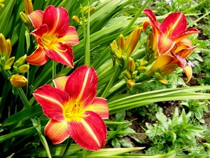 Wild Edibles: The Daylily