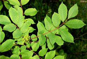 poison_sumac_leaf