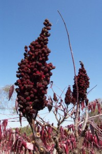 Smooth Sumac Fruit