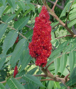 Staghorn Fruit