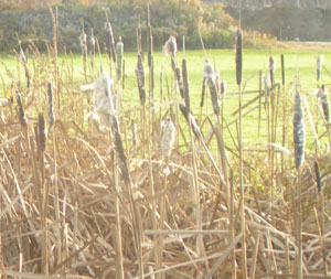 cattail fuzz starting to form