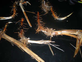Rhizomes (shown w/ cut stalk)