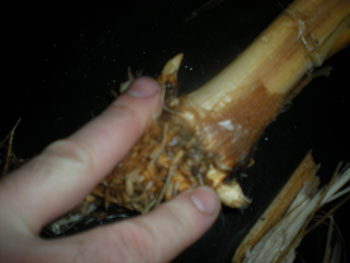 Another example of the corms after the base of the stalk is clean