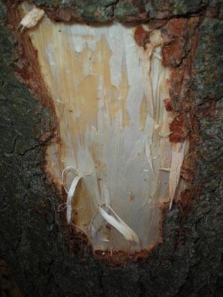 pine_bark3