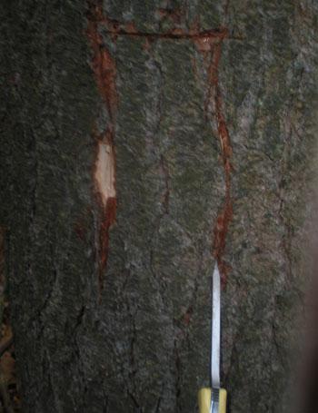 pine_knife2