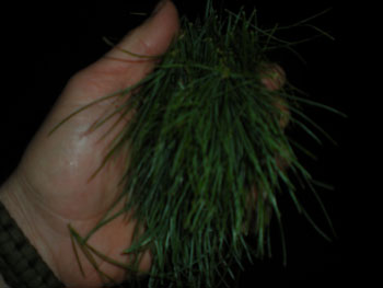 pine_needle_handful
