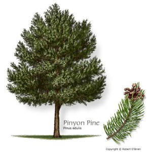 pinyon_drawing