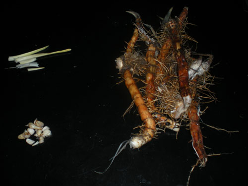 Here's a picture of the rhizomes (right), corms (lower left) and older corms/new shoots (upper left) - all edible an all very tasty