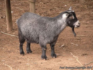 pygmy_goat